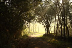Morning scene. A way through the rubber plantation- A morning scene Royalty Free Stock Image