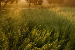 Morning scene , agriculture land - rural India. Sun rises in the background, sunrays falling over a green agriculture field. Rural Indian scene. Nature stock Stock Image