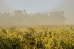 Morning scene , agriculture land - rural India. Sun rises in the background, sunrays falling over a green agriculture field of mustard flowers. Rural Indian Royalty Free Stock Images