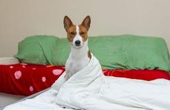 Morning scene in bedroom of lazy dog Stock Images