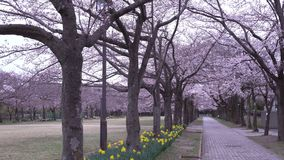 Morning scene of Cherry blossoms and narcissus with twitter of birds in a park in Tokyo stock video