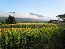 Morning scene of crop field, small house, mountain, blue sky and. Morning scene of beautiful crop field, small house, mountain, blue sky and white mist Royalty Free Stock Photography