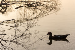 Morning Scene of Ducks in a Pond. Royalty Free Stock Photos
