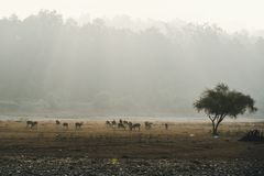 Morning Scene with Sambar Deer in Bandipur National Park. A herd of deer grazing in the field in the evening light. the sun sets behind the trees. Morning Scene royalty free stock image