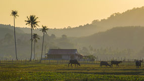 Morning scene at the village. Morning scene at unknowde village at Langkawi, Malaysia with buffalo family are playing around the fields Royalty Free Stock Images