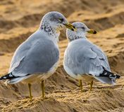 Morning Seagulls waiting for the day. Seagulls on the beach in Nags Head North carolina on a January morning at the Outer Banks, US royalty free stock image