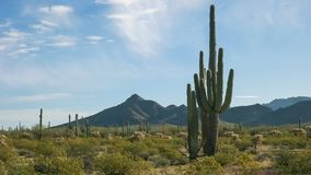Morning Shot Of Saguaro Cactus And The Ajo Mnts At The Organ Pipe Cactus National Monument Near Ajo In Arizona Royalty Free Stock Image