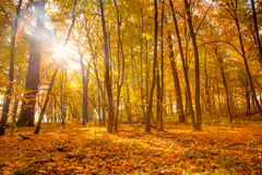 Morning in the Silent  Autumn park with sunlight and sunbeams - Royalty Free Stock Photo