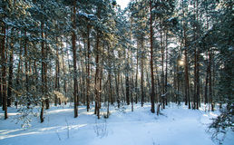 Morning snow forest winter frost sun Stock Images
