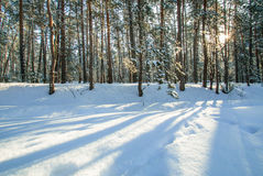 Morning snow forest winter frost sun Stock Photos