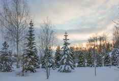 Morning snow forest winter frost sun Royalty Free Stock Images