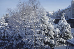 Morning after a snow storm. Illuminated by the sun and the snow-covered trees Stock Images