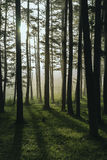 Morning song. Sunrise through a pine forest Stock Photography
