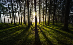 Morning song. Sunrise through a pine forest Royalty Free Stock Photography