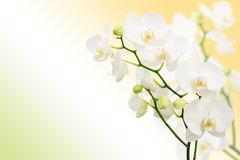 Morning spring background with branches of orchids Royalty Free Stock Photos