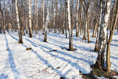 Morning in spring birch forest Stock Photos