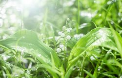 Morning in spring forest. lilies of the valley close-up in bright sunlight.  stock photos