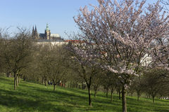 Morning Spring Prague gothic Castle and the green Nature and flowering Trees, Czech Republic Stock Image