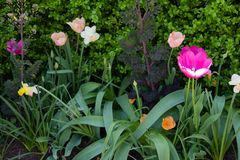Springtime tulips in the morning 14 Stock Images