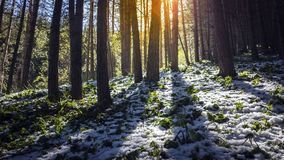 Morning in the spruce forest. Stock Photos