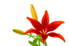 Morning star lily (lilium concolor) Stock Photography