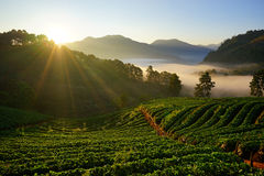 Morning at Strawberry farm at Doi Angkhang. stock images