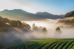 Morning at Strawberry farm at Doi Angkhang , Chiang Mai province. Thailand. Beautiful Morning at Strawberry farm at Doi Angkhang , Chiang Mai province. Thailand stock photo
