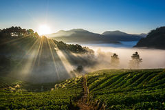 Morning Strawberry farm. Doi angkhang , Chiangmai. stock photography
