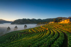 Morning Strawberry farm. Doi angkhang , Chiangmai. Royalty Free Stock Image