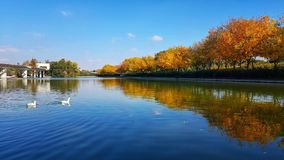Morning stroll at the lake. Ducks on the lake on late summer morning royalty free stock photo