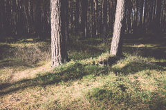 Morning sun beams in the autumn forest. Vintage. Royalty Free Stock Image