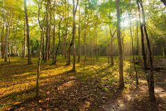 Morning sun beams in the forest Stock Images
