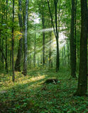 Morning sun beams in the summer forest Stock Photo