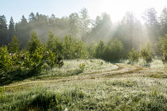 Morning sun beams in the summer forest Royalty Free Stock Image