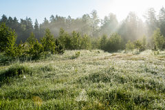 Morning sun beams in the summer forest Royalty Free Stock Images