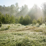 Morning sun beams in the summer forest Royalty Free Stock Photos