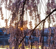 Morning sun behind the sakura blossoms in Washington DC. Cheery tree branches over the waters of East Potomac at sunrise Stock Photography