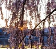Morning sun behind the sakura blossoms in Washington DC. Stock Photography