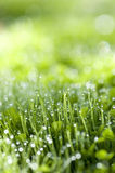 Morning Sun on Dew Drops. Green grass with morning dew Royalty Free Stock Images