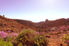 Morning sun and flowers on volcanic field Canary Islands Stock Photos