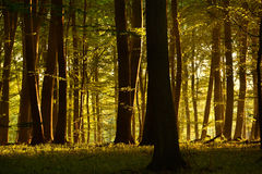 Morning sun. In the forest Royalty Free Stock Image