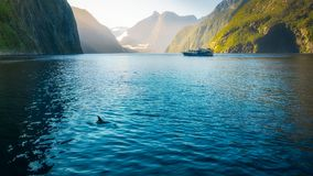 Morning sun glow and dolphins at Milford Sound. In Fiordland National Park, New Zealand, South Island. Bottlenose dolphins are sometimes swimming along the boat Stock Photography