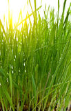 Morning sun green grass Royalty Free Stock Photo
