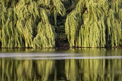 Morning sun at the lake. The leaves of the willow trees light up properly. Was seen in Potsdam, on the lake Aradosee Stock Photos