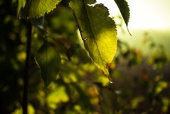 Morning sun leaf Stock Photography