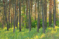 Morning sun light in pine forest. Stock Image
