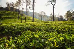 Morning sun lit tea gardens, fields of green leaves with some tr. Ees. Kandy, Sri Lanka Royalty Free Stock Photo