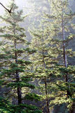 Morning sun on old growth forest Royalty Free Stock Photography
