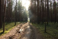 Morning sun in a pine forest Royalty Free Stock Images