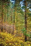 Morning Sun on the Pines. Morning sunshine through pine trees in the Wasatch mountains of Utah Stock Image